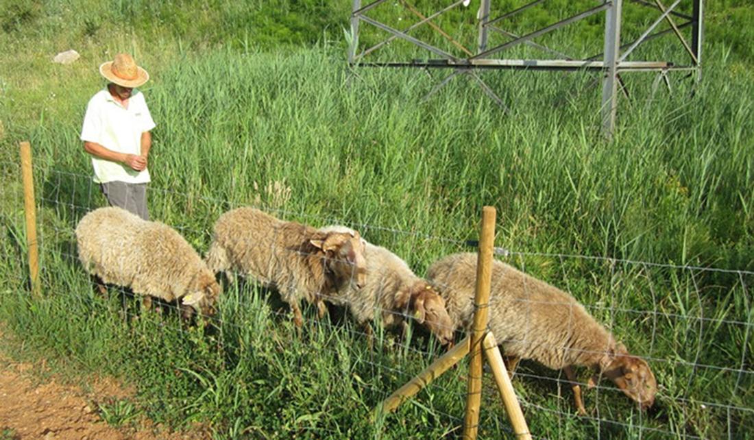 Rebaño de oveja carranzana, al ganado es un aliado en la lucha contra el plumero
